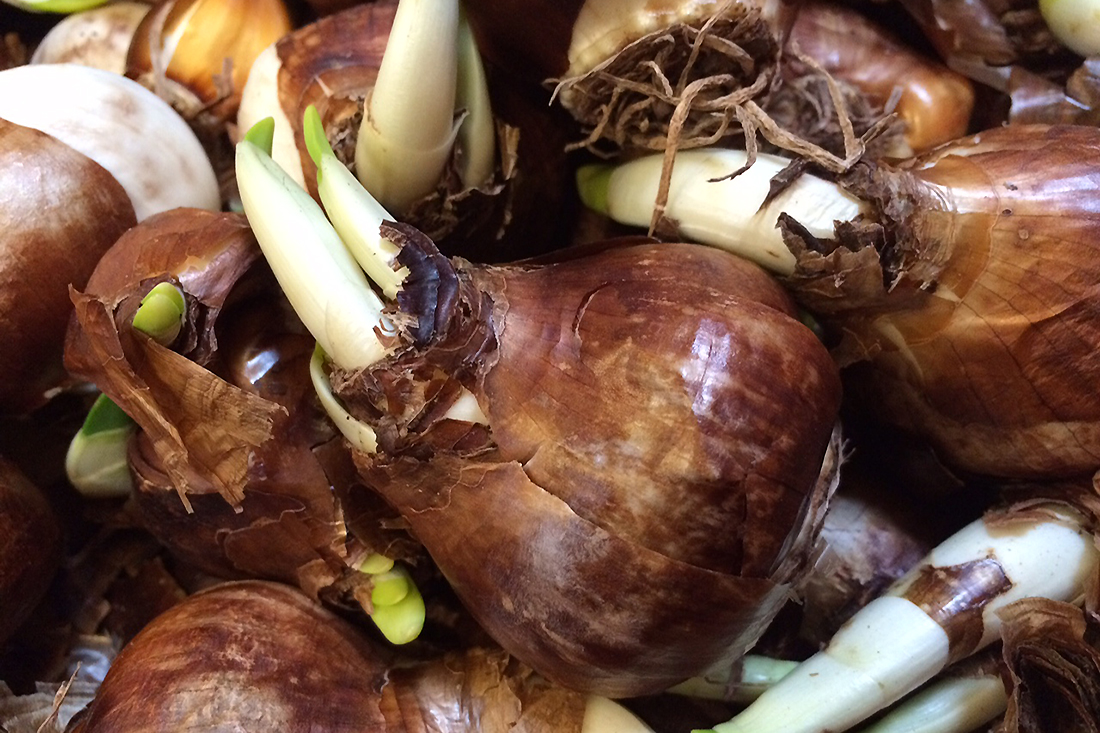 Forcing Bulbs – Down To Earth Home, Garden and Gift